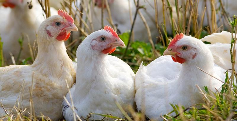 magliano-in-toscana-agriturismo-animali-della-fattoria,-galline