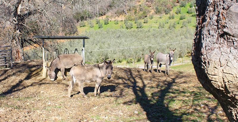 magliano-in-toscana-agriturismo-animali-della-fattoria,asinelli